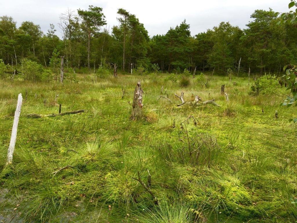 Sumpf und Totholz - wandern im Pietzmoor
