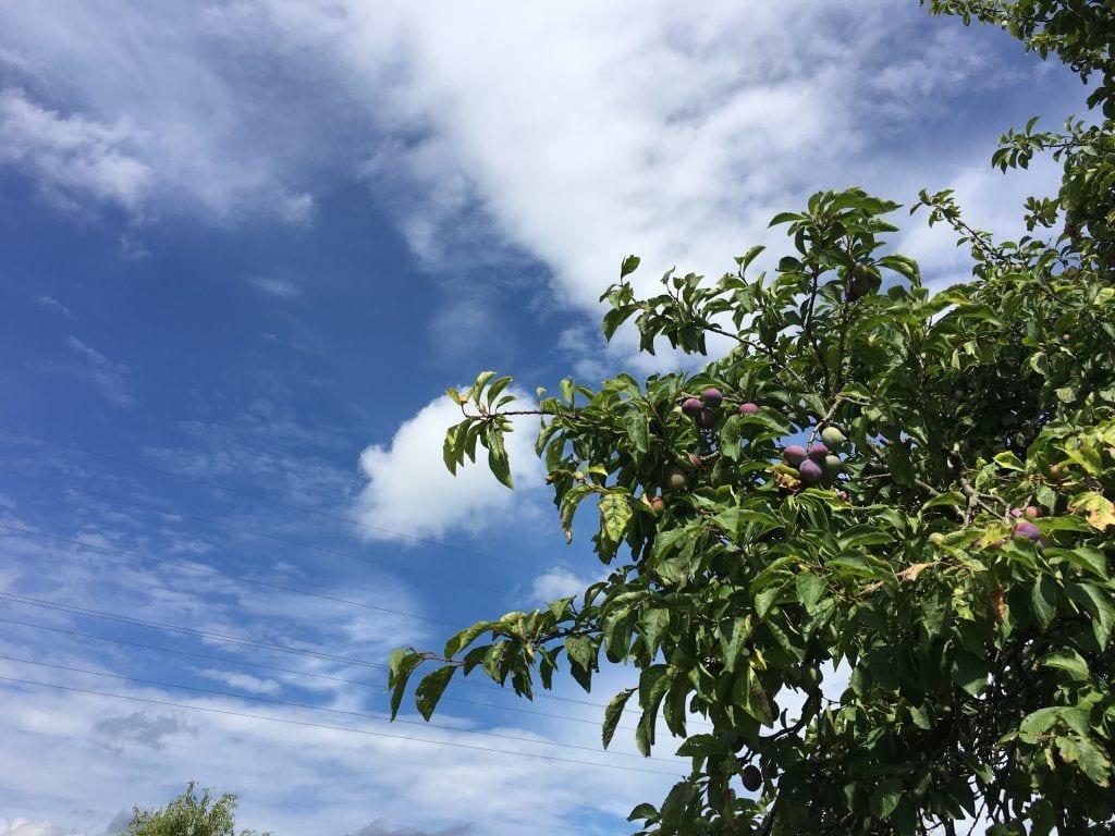 Wanderung im Alten Land - Obstbäume am Wegesrand