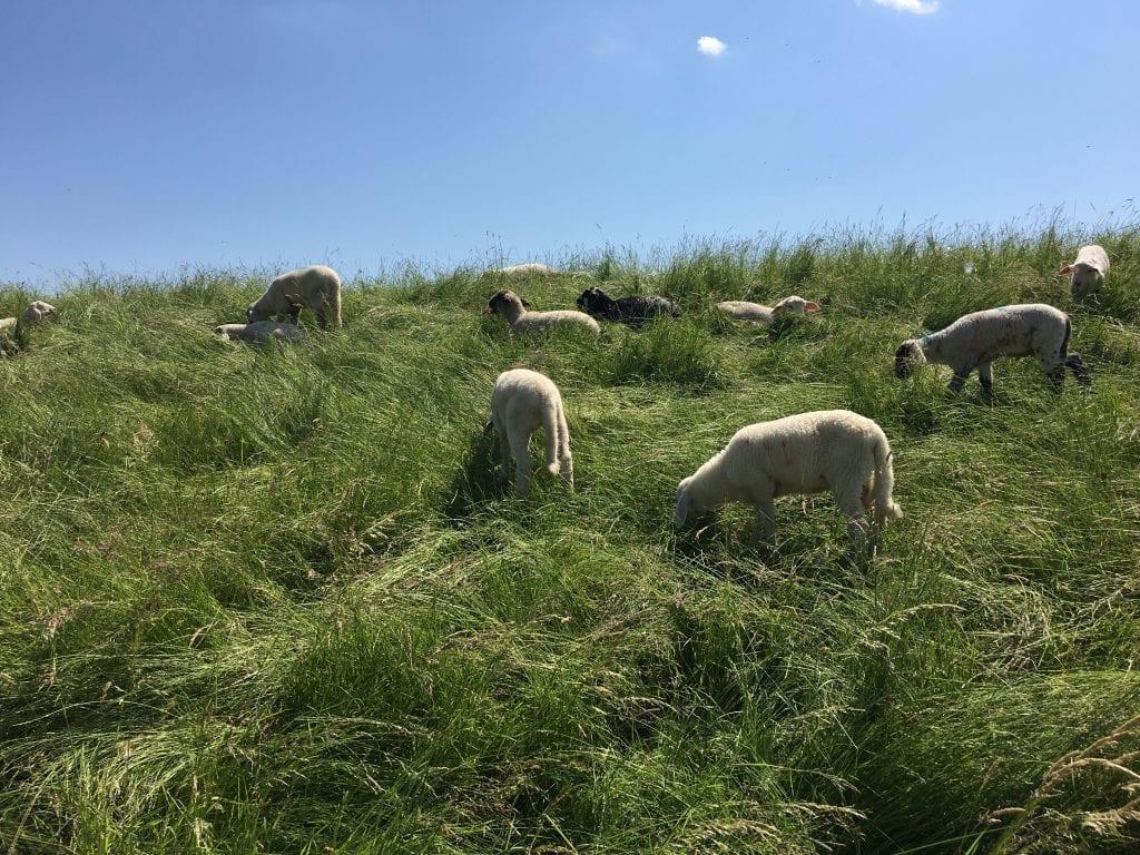 Grasende Schafe am Elbdeich bei Bleckede