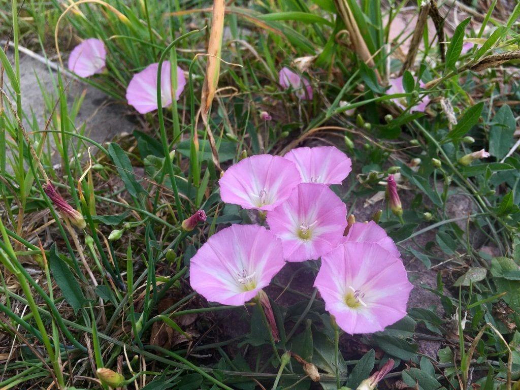 Blütenpracht am Elbdeich bei Klöden