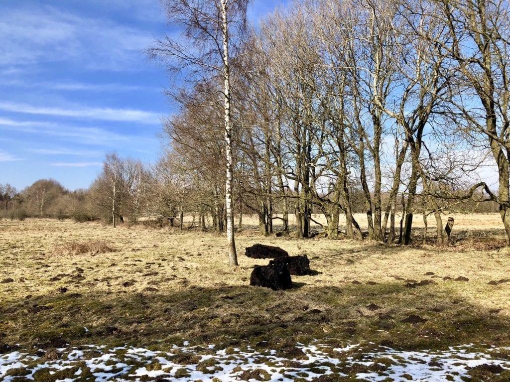 Galloway-Rinder im Naturschutzgebiet Höltigbaum
