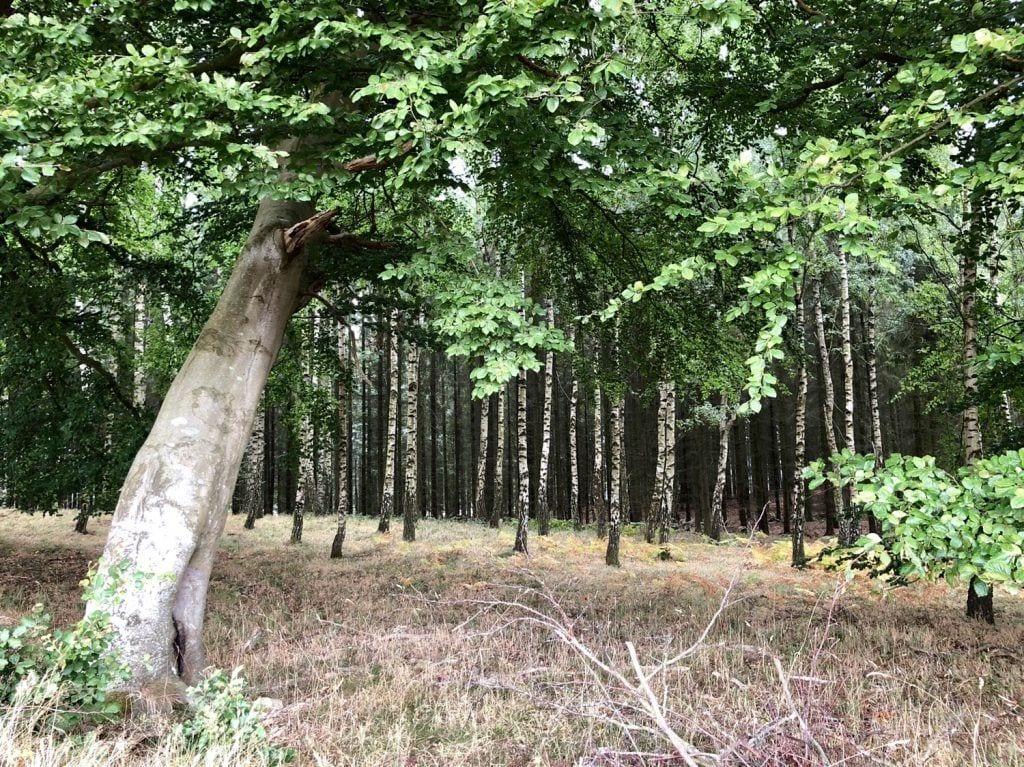 Birkenwald am Wanderweg