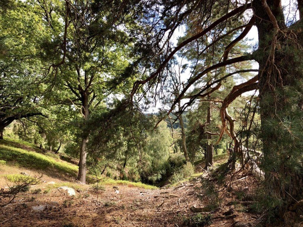 Knorrige Bäume und steile Hänge am Totengrund bei Wilsede