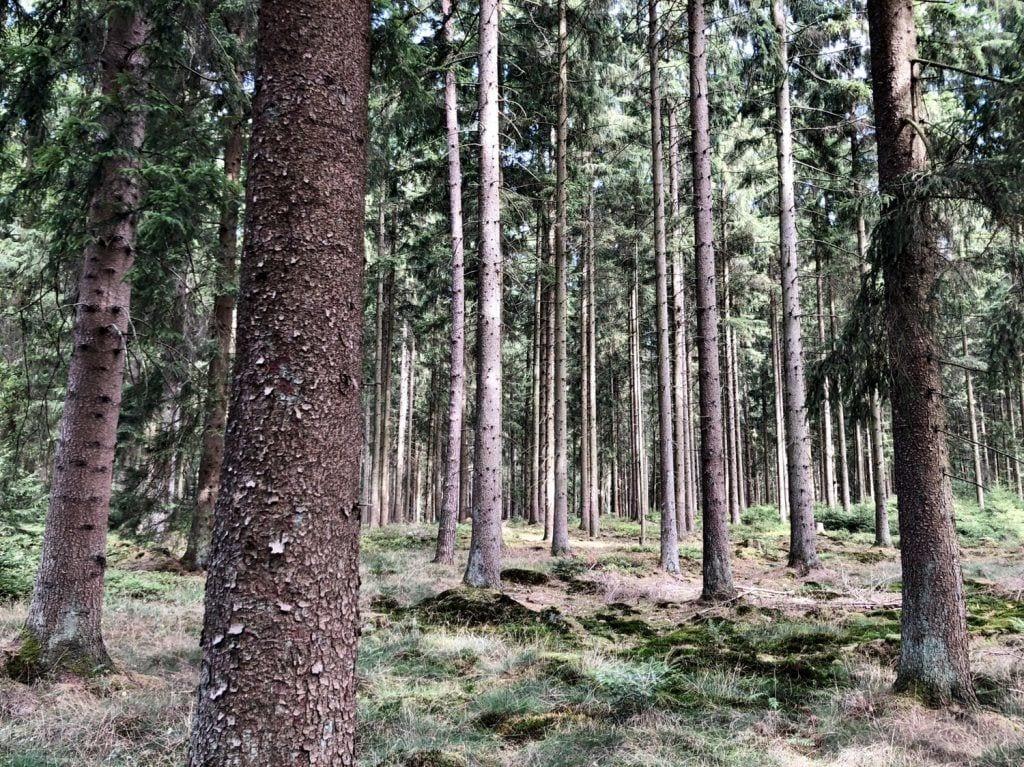 Nadelwald am Wegesrand bei Behringen
