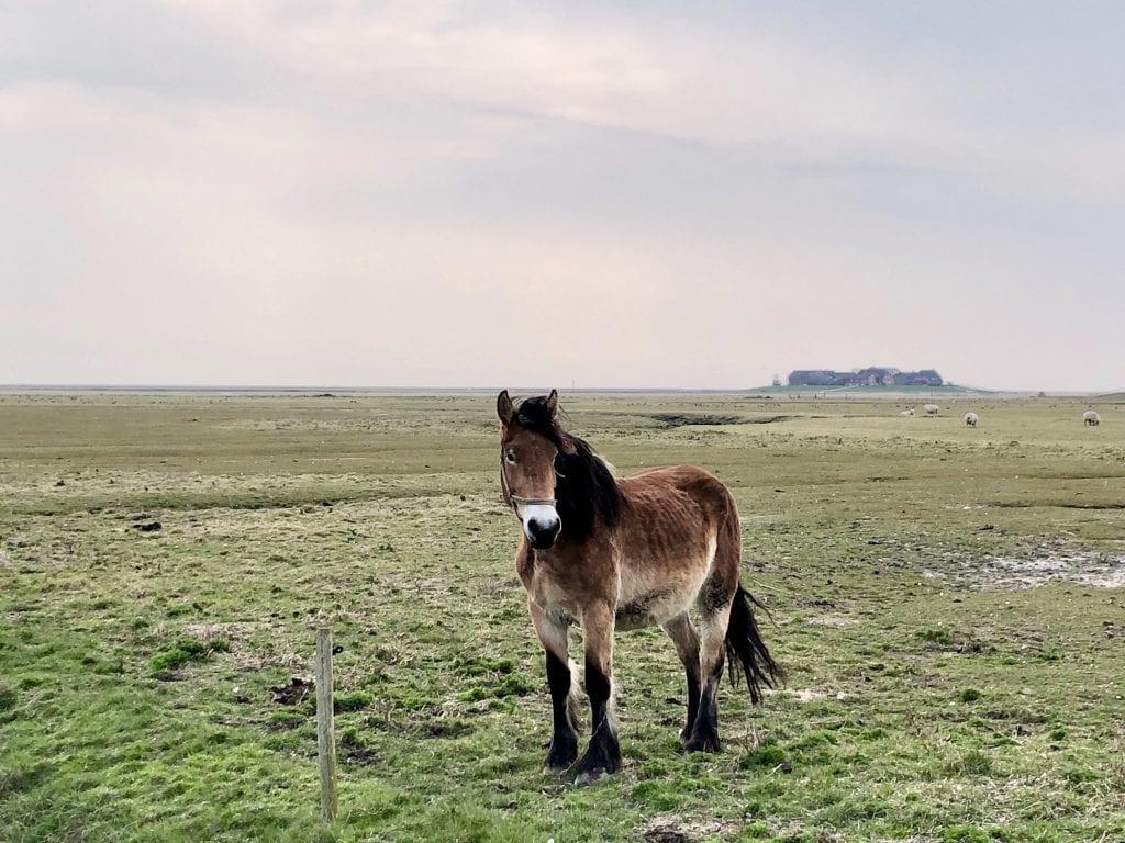 Kaltblut-Pferd auf Hooge