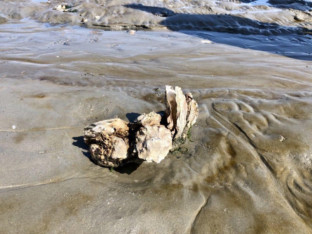Die Pazifische Auster im Wattenmeer bei Cuxhaven
