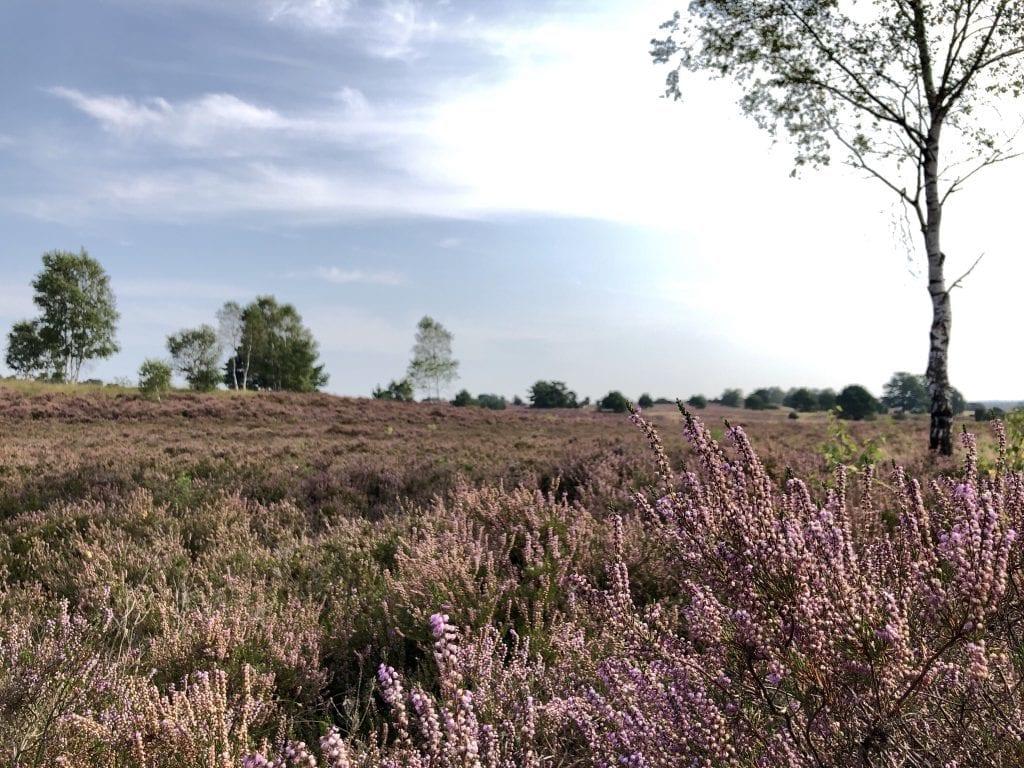 Blühende Heide bei Undeloh in der Lüneburger Heide