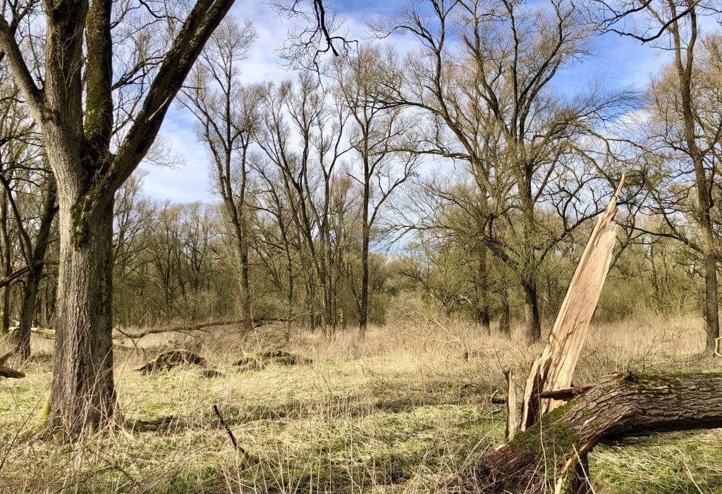 Bruchholz und Wildwuchs im Vollhöfner Wald