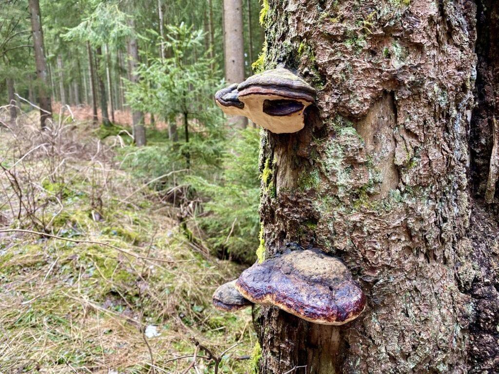 Zunderpilze im Fichtenwald in der Nähe des Innerstesprung